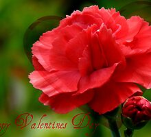 Happy Valentines Day! - Carnation - NZ by AndreaEL