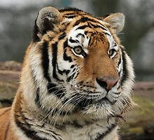 Tiger Profile by Mark Hughes