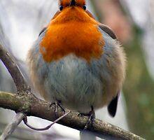 Plump Robin! by Dean Messenger