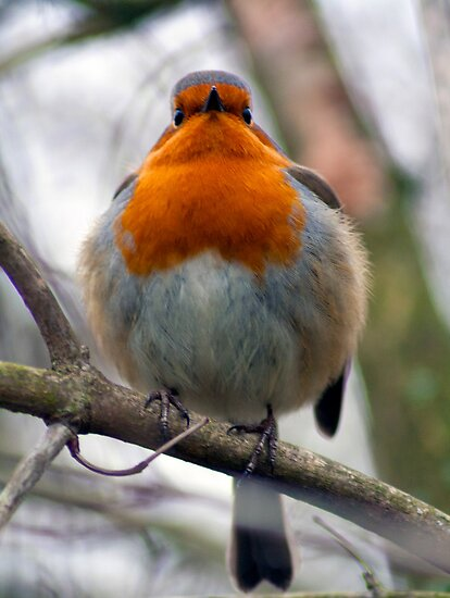Plump Robin! by Dean Messenger
