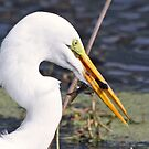 Great white egret with todays catch! by jozi1