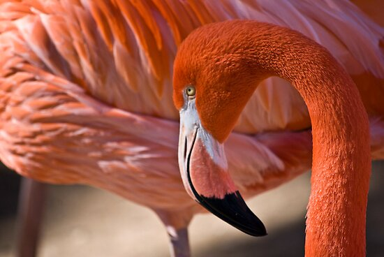Flaming Flamingo by Diego  Re
