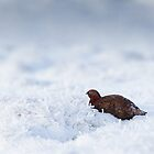 Red Grouse In Snow by Oaktreephoto