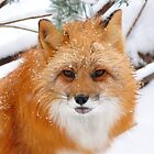 Red Fox by Nancy Barrett