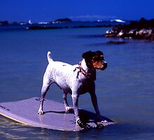 Surfing Jack Russell Terrier, Kona by Lee Gunderson