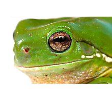 litoria caerula  green tree frog closeup Photographic Print