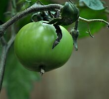 Green Tomato by petejsmith