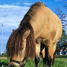 Miniature horse (closeup) by clearviewstock