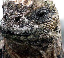 lizard, galapagos isands, Ecuador by suellewellyn