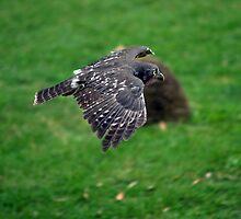 Healsville Santuary - Owl in Flight by Dean Osborne