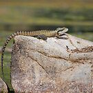 Eastern Water Dragon on a Rock by clearviewstock