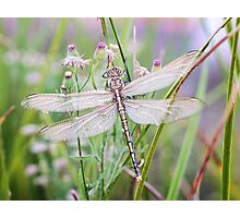 Newly emerged dragonfly #2 Photographic Print