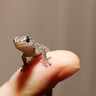 Marbled Gecko - Christinus Marmoratus  by clearviewstock