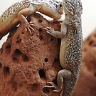 Central Netted Dragons - Ctenophoros nuchalis by clearviewstock