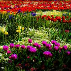 Tulips galore by ronsphotos