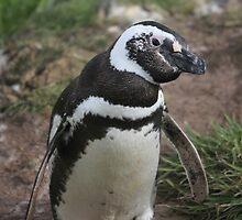 Magellanic penguin by Marion Joncheres