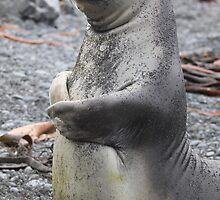 Young elephant seal by Marion Joncheres