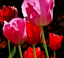Tulips by Lee Potter