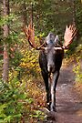 Moose, Emerald Lake, Yoho National Park, BC, Western Canada. by photosecosse /barbara jones