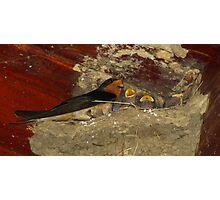 Family Sing Along!  (Barn Swallows) Photographic Print