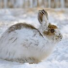 Snowshoe Hare by Heather Pickard