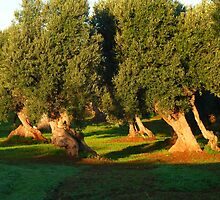 Olive trees by supergold