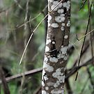 Corroboree Tree by Karen E Camilleri