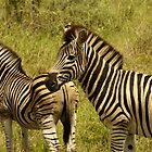 zebra  by petraE