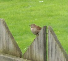 Bird on my Fence by Lauriej5456