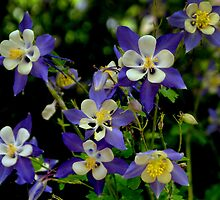 Colorado Columbine by Linda Storm