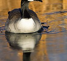 Canada Goose in Ice by kurtbowmanphoto