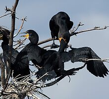 Feeding Time For Cormorant Family by Gail Falcon