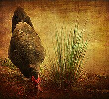 Muscovy Duck by Chris Armytage™