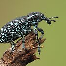 Botany Bay Weevil by KiriLees