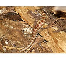 Madrean Alligator Lizard Photographic Print