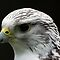 Saker Falcon by Mark Hughes
