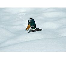 The Savage Canadian Snow Duck Photographic Print