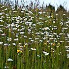 Wild flowers by PhotosByHealy