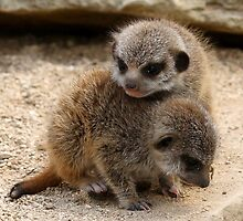 Baby Meerkats by Mark Hughes