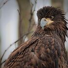 Juvenile Bald Eagle by David Friederich