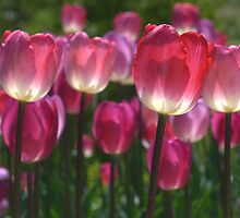 Translucent Tulips - Let the sun shine through by Jeff Weymier