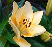 Pale Peach Lily by LoneAngel