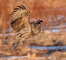 Side Light Entrance / Great Grey Owl by Gary Fairhead