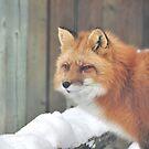 What a fox! by MarieG