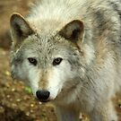 Wolf by Mark Hughes