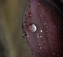 Queen of the Night Tulip by destinydai