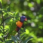 Rainbow Lorikeet by John  Kowalski