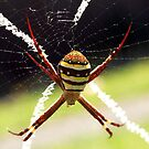 St Andrew's Cross Spider - Female by Bev Pascoe