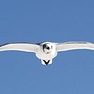 Laughing gull in flight by jozi1