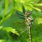 Dragonfly by Alicia  Liliana